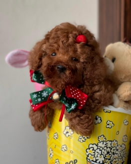 Red -Apricot Toy Poodle Yavrular